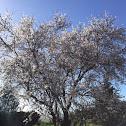 Almond tree (Αμυγδαλιά)