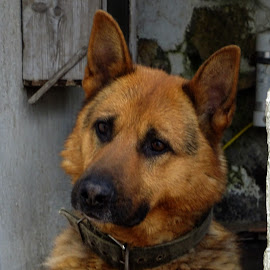 Geman Shepherd by Helder Carvalho - Animals - Dogs Portraits ( german shepherd, dog, dog portrait )