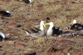 Photo: Albatrosses whispering to one another