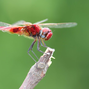 helicopter by Vijayendra Desai - Animals Insects & Spiders