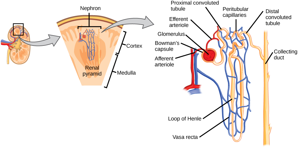 Kidney and Nephrone functional unit