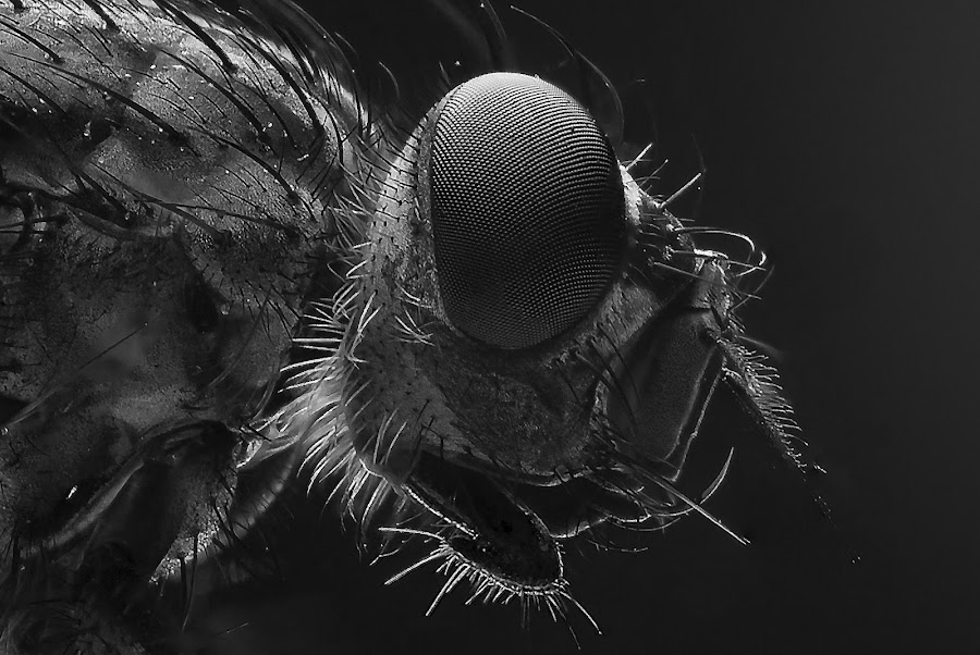 by Arslan Uçar - Animals Insects & Spiders ( black & white, macro )
