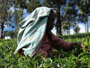 Photo: 7B220955 na plantacji herbaty