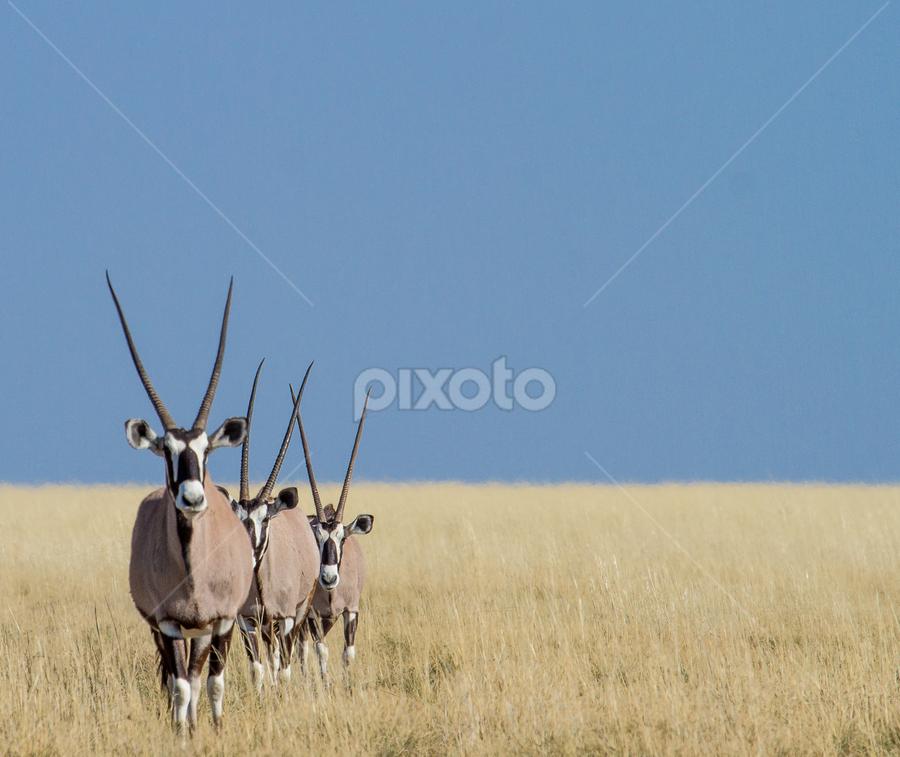 threesome by Rian Van Schalkwyk - Animals Other Mammals ( etosha, horns, oryx, savanna, gemsbuck,  )