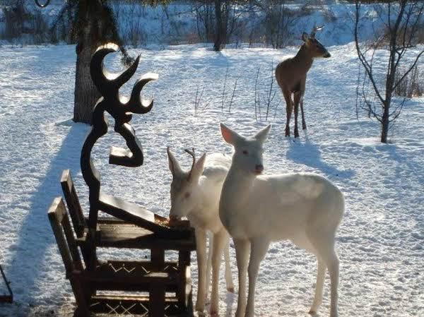 Rare Albino Deer Spotted In Grayling Michigan