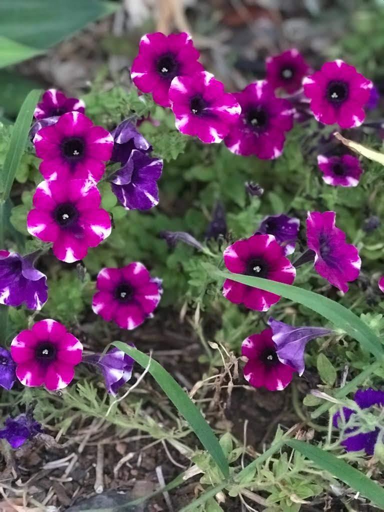 De doodgewaande petunia's. Prachtige kleuren!