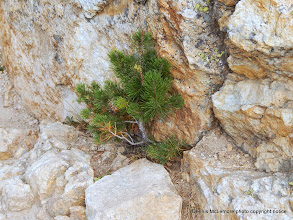 Photo: Pine growing in the rocks on the trail