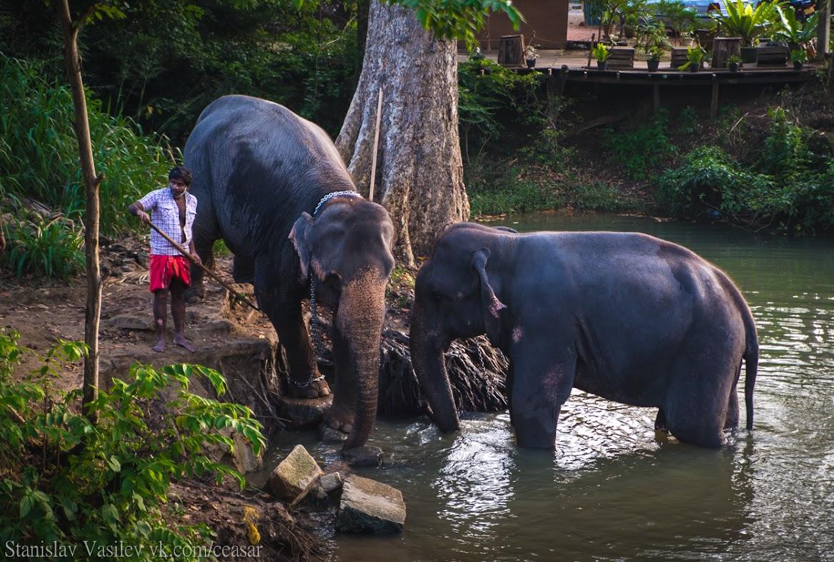 Шри-Ланкийские слоны