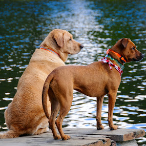 Kirby & Surly by Sandra Updyke - Animals - Dogs Portraits ( dog's life, kirby, dogs, summer fun, surly )