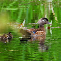 Wood duck (female with ducklings)