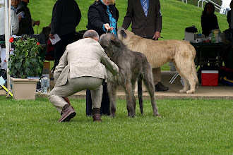Photo: 05-01-2014 Franky and Lisa Competing in Best of Breed at Irish Wolfhound Club of America show Grey Summit, MO