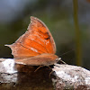 Tropical Leafwing
