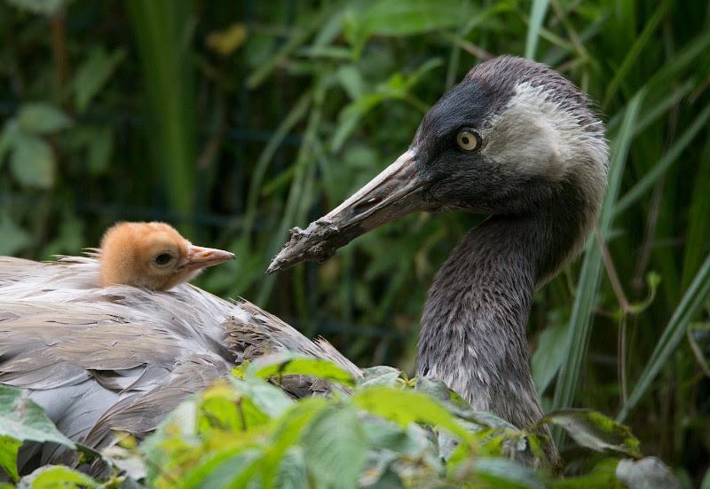 Mamma e pullo di gru europea di Atum-Pietro
