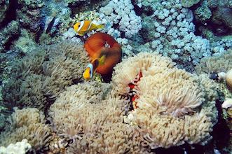 Photo: #004-Anémones et poissons clowns