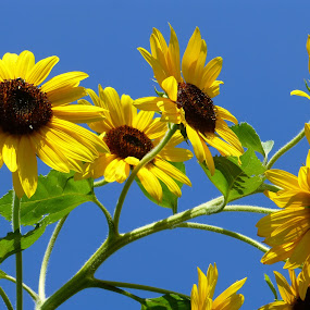 Heads Up, Sunflowers! by Susan Englert - Flowers Flowers in the Wild ( sky, blooming, green, blue, leaves, stalk, yellow, brown, sunflower, stem,  )