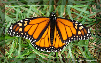 Photo: Saturday evening, I discovered this perfect Monarch butterfly.  Amazingly, it was still around Sunday morning.  I gently picked it up to park it in the sunshine, but it was already warm enough to fly off to a near by tree.  Hope it made it to Mexico!