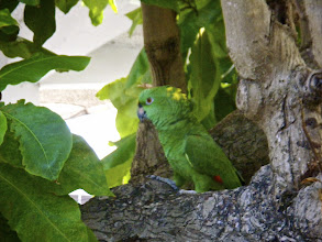 Photo: A parrot in the back yard of No Limit.