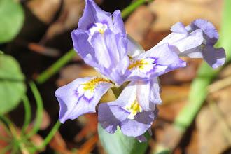 Photo: Dwarf Crested Iris