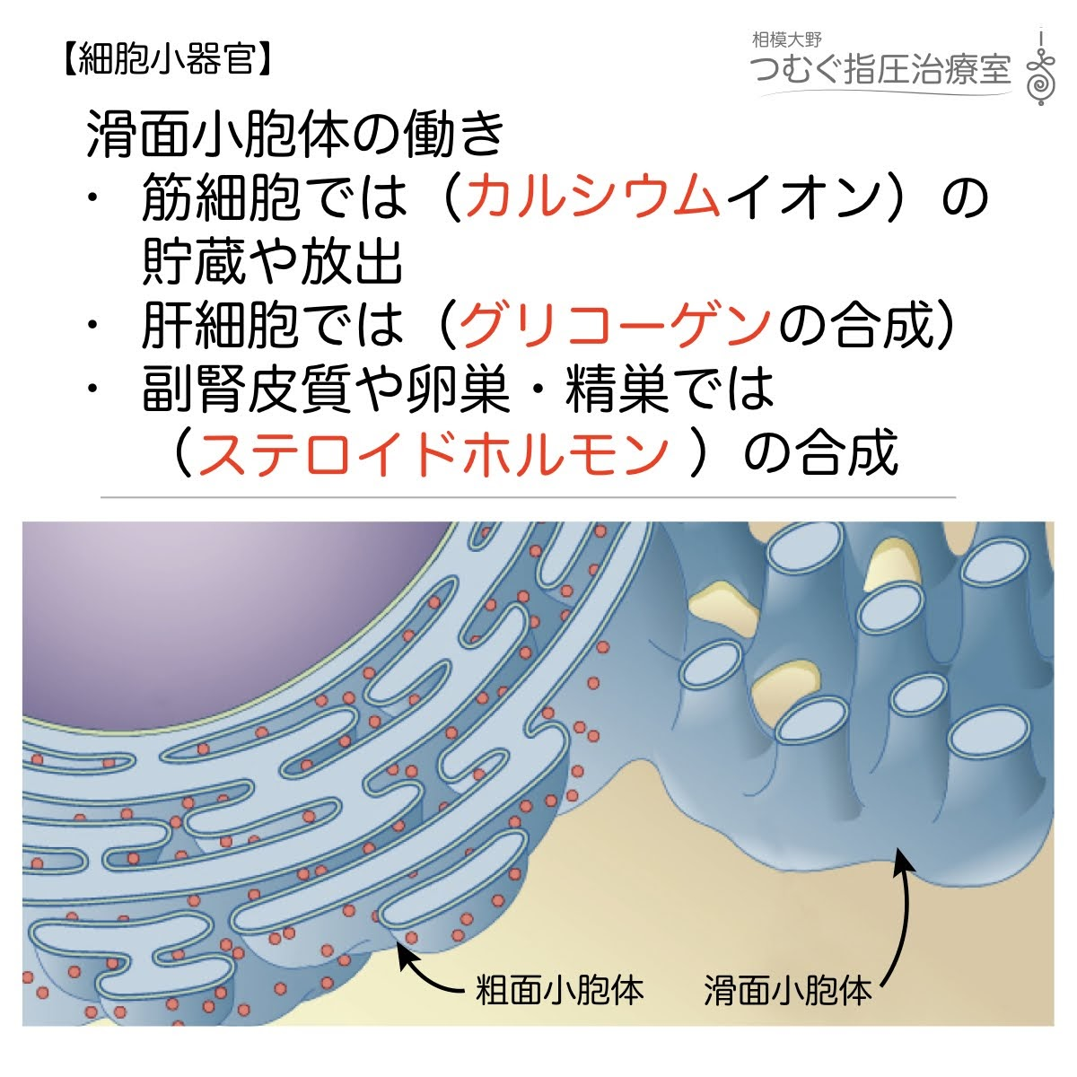 滑面小胞体の働き:筋細胞、肝細胞、副腎皮質・精巣・卵巣