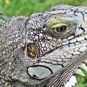 IGGY by Karen Noble - Animals Reptiles (  )