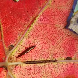 by Megi Šajn - Nature Up Close Other plants ( red, nature, up close, natural light, leaf )