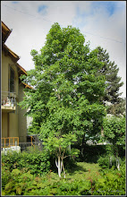 Photo: Artar - Paltin de munte - (Acer pseudoplatanus) de pe Calea Victoriei, mr.3 Album: http://ana-maria-catalina.blogspot.ro/2016/05/artar-paltin-de-munte-acer.html