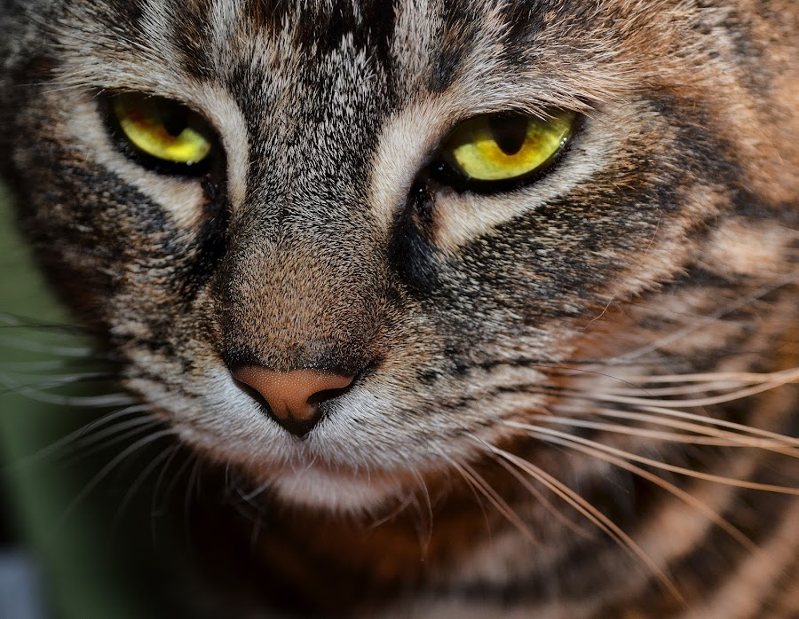 Lily by Angel Weller - Animals - Cats Portraits ( female, stare, yellow, cat.eyes )
