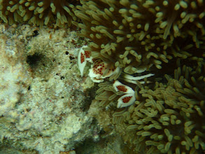 Photo: Porcelain Crab, Siquijor Isalnd, Philippines