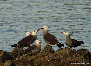 Photo: Adult Heerman's Gulls on the shores of Matanchen Bay