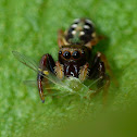Jumping spider vs aphid