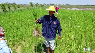 Photo: SMART Farmer holding SRI plant TOT2 , Tha Tum , Surin
