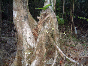 Photo: Ghost Orchids - Dendrophylax fawcettii growing at the base of a Wild fig tree - Ficus aurea. Photo: Ann Stafford April 20, 2003 http://www.doe.ky/nbap/?page_id=390