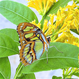 butterfly on a leaf by Mary Gallo - Animals Insects & Spiders ( green leaves, nature, butterfly, nature up close,  )