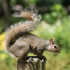 Squirrel Pose by Julia Nicely - Animals Other Mammals ( wild animal, pose, tail, squirrel, animal )