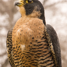 Peregrine by Camruin Kilsek - Animals Birds
