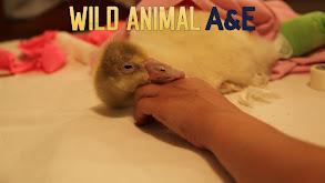 Wild Animal A&E thumbnail
