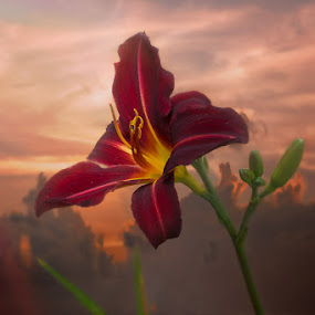 Lilly by David Botha - Flowers Single Flower ( sky, red, beautiful, flower, lilly,  )
