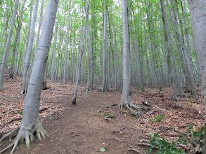 Photo: 14.Dalej wspinamy się nomen omen bukowym lasem. Widoków niestety brak. Jest jednak plus takiej wycieczki - korony drzew są tak gęste, że jak zaczyna padać drobny deszcz to tylko go słychać, ale nic na nas nie pada ;)