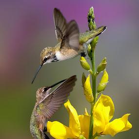 Flower Dancers by Shawn Thomas - Animals Birds (  )