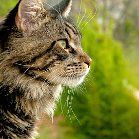 In love with nature by Luana Racan - Animals - Cats Portraits ( maine coon nature green big cat lovely wind, pwc84, , #GARYFONGPETS, #SHOWUSYOURPETS )