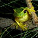 Graceful Treefrog