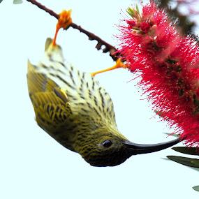 Streake- Spiderhunter by Dato' Mohaiadin - Animals Birds ( dato' prof jamaludin mohaiadin malaysia bird photo burung nikon d800e 400mm f/2.8 fraser hills pahang, streaked-sunbird )