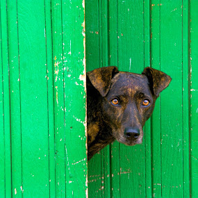 Trinidad, Cuba by Alister Munro - Animals - Dogs Portraits (  )