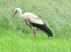 Photo: Day 65 - Stork!
