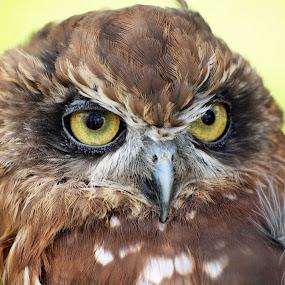 I see you  by Martin Hughes - Animals Birds ( bird of prey, owl, owls )