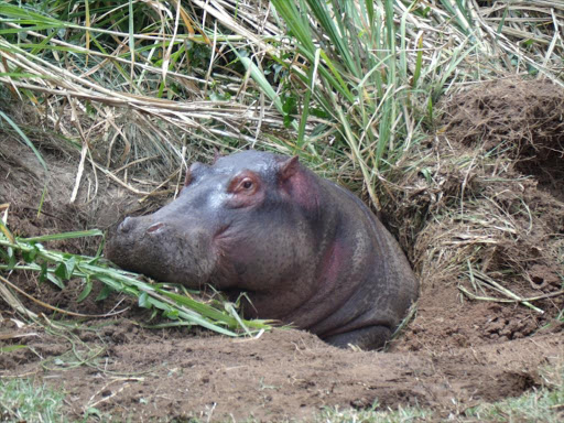 Girl, 12, hospitalised after hippo attack