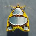 Nolid Moth