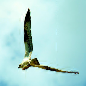 Bad day to be a fish.  Good day to be an osprey. by Falina Skinner - Animals Birds