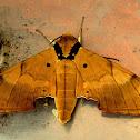 Ambulyx hawkmoth