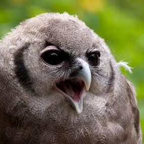 Owl by Jud Joyce - Animals Birds ( wildlife, birds, owls )